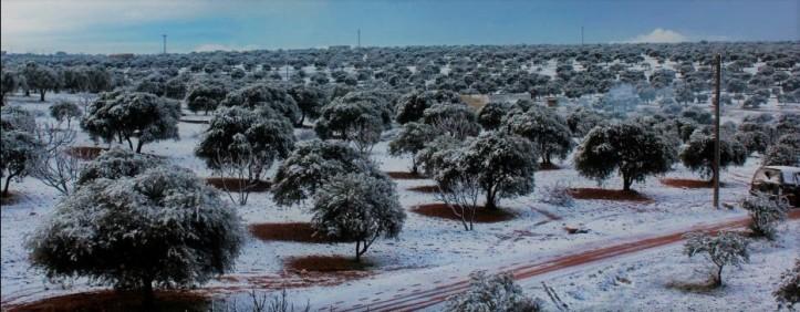 snow on olives