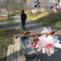 Our Newark Cherry Blossoms